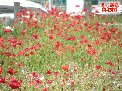 シンボルプロムナード公園 ワイルドフラワー祭り2011春