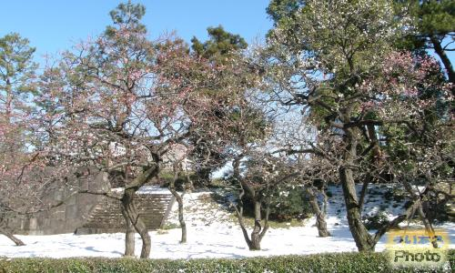 2014年皇居東御苑の梅