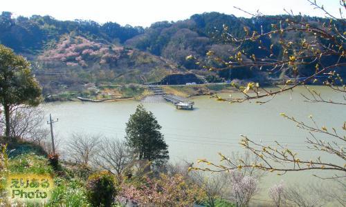 佐久間ダム周辺の河津桜