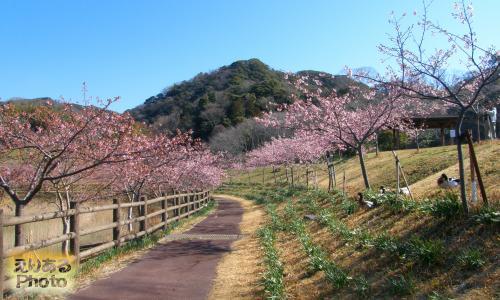 佐久間ダム周辺の河津桜と鴨