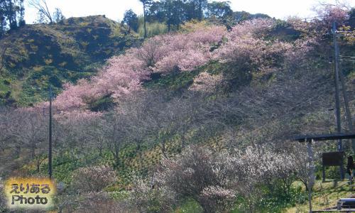 佐久間ダム周辺の河津桜と梅