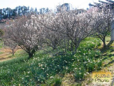佐久間ダム周辺の梅