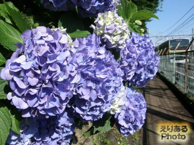 飛鳥山公園の紫陽花2014
