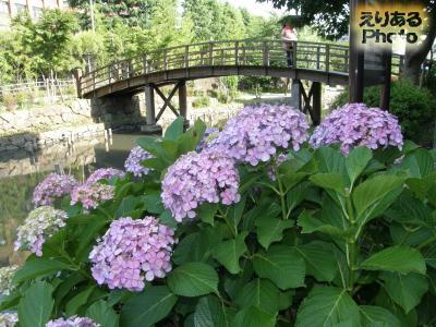 木場親水公園の紫陽花2014