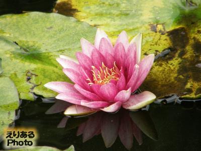 府中市郷土の森 やすらぎの池 睡蓮