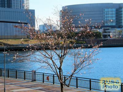 春海橋公園の寒桜2014