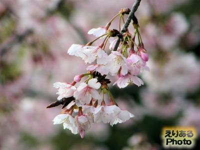道の駅とみうら 枇杷倶楽部 いちご庭園 河津桜