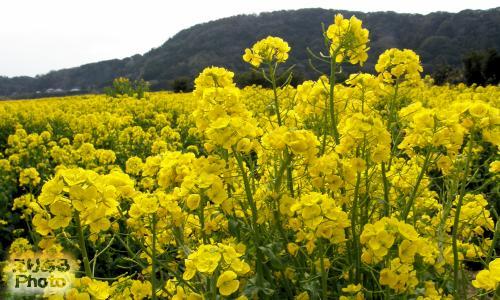 道の駅とみうら 枇杷倶楽部 菜の花