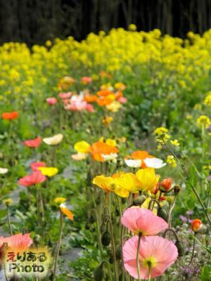 道の駅とみうら 枇杷倶楽部 ポピーと菜の花