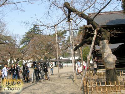 靖国神社標準木と報道陣