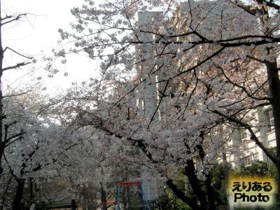 豊洲4丁目公園の桜2015