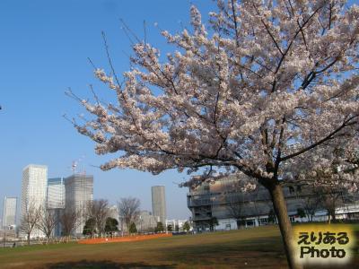 豊洲公園の桜2015