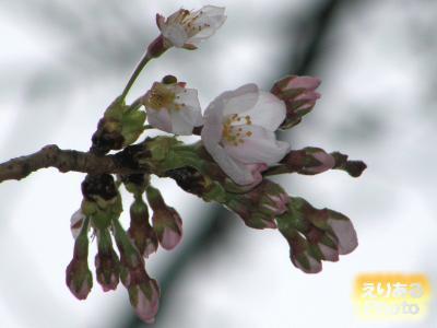 豊洲4丁目公園の桜2016