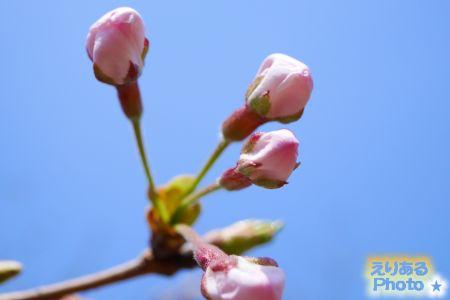2017年豊洲公園の桜