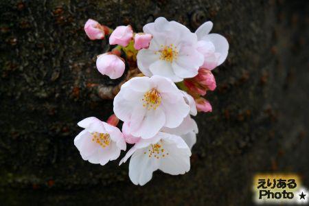 2017年豊洲の桜