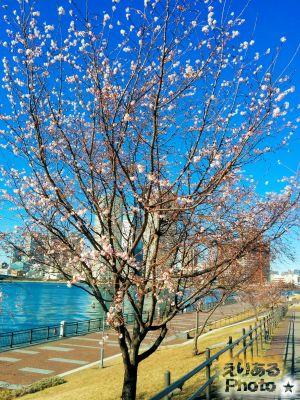 春海橋公園の寒桜2017