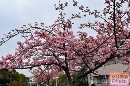 2018年都立木場公園東側大横川沿いの河津桜
