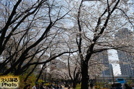 2018年芝公園の桜