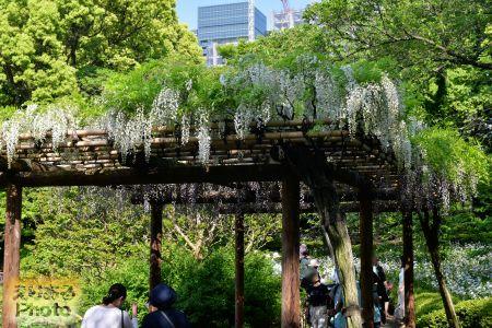 2018年皇居東御苑の藤