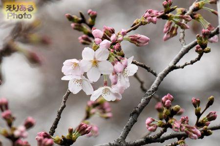靖国神社桜2019年