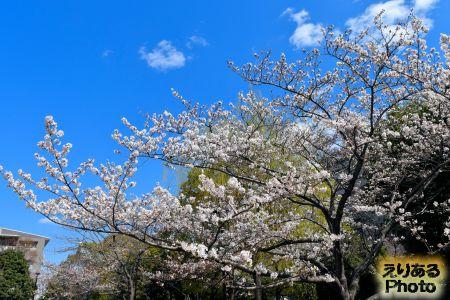 晴海の桜2019年
