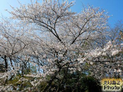 飛鳥山公園の桜2019年