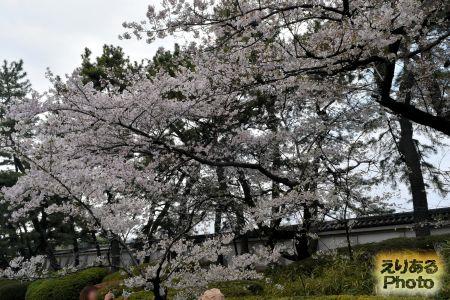 皇居東御苑の桜 2019年
