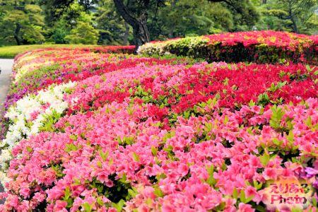 皇居東御苑二の丸庭園のクルメツツジ2019年